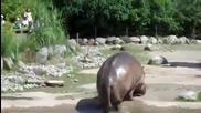 Хипопотам пръцка