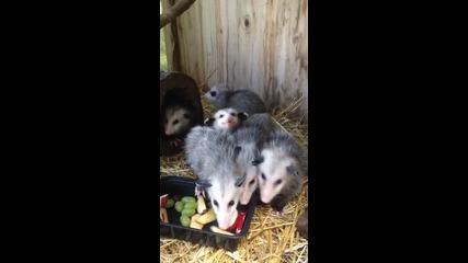 Опосуми ядат плодове