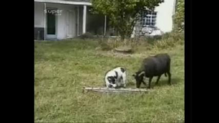 Куче срещу Коза