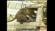 Да Посягаш на Леопард не е здравословно