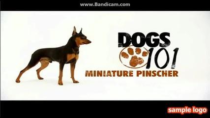 Кучета101-мини пинчер