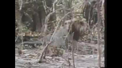 Азиатски Лъв Напада Коза
