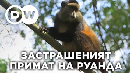 Златистия гвенон - изключително редкия вид примати