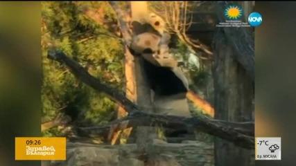 Известното бебе-панда Бей Бей успя да се качи на дърво