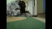 Куче Vs. Морско Свинче