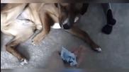 Реакцията на виновни кучета след като са направили беля
