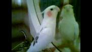 Papagal pee sinio liato