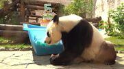 Russia: Moscow Zoo pandas celebrate double birthday