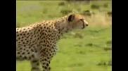 Гепардът - Най - бързото сухоземно животно