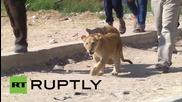 Как в Палестина си разхождат домашните лъвчета