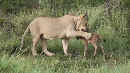 Лъв спасява малка антилопа от друг лъв!!! ... Удивително!