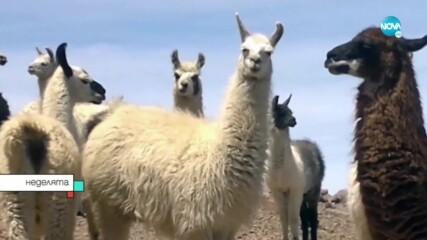 Антитела на лама борят коронавируса?