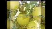 Ябълка сорт голден Б-разсад Фиданки Дръвчета-овощен Разсадник Елит