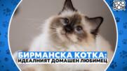 Бирманска котка: идеалният домашен любимец за всяко семейство