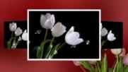 Даровете на природата - красиви лалета! ... ( Daveed music) ...