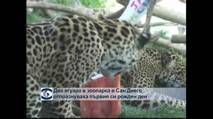 Двата ягуара на зоопарка в Сан Диего получиха торта от месо за първия си рожден ден