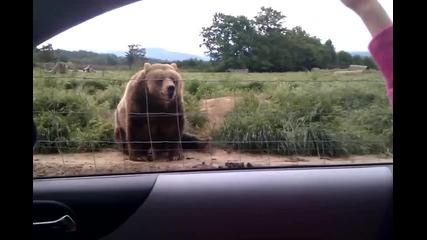 Културната мечка си е културна