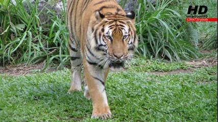 Страхотни снимки на тигри - [не е Hd!] marioni95 Hd