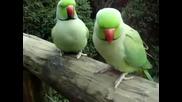 Говорящи папагали разговарят помежду си
