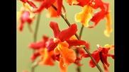 Валс на орхидеите... ...(richard Abel)... ...