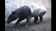 Тапир настъпва пениса си !