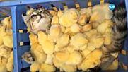 Пиленца правят сутрешен масаж на сънливо коте