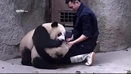 Бебета панди си играят с доктора и не искат да си вземат лекарството.