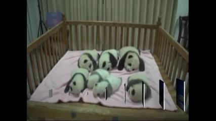 Панда бум в Китай