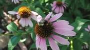 Пчели събират прашец от цвят на Ехинацея - видео на бавен кадър