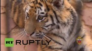 Russia: Amur tiger cub adopted by Moscow police