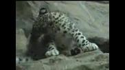 Малък Снежен Леопард