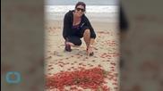 Tiny Tuna Crabs Wash up on California Beache