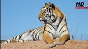 Страхотни снимки на тигри - marioni95 Hd