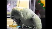 Папагал Реве Като Малко Дете!