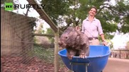 Australia: Meet Patrick, the oldest and biggest wombat in the world!