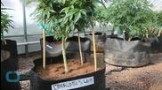 Studies Show Medical Marijuana Unproven to Help Many Illnesses