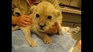 Много Сладко Бебе Лъвче