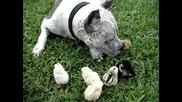 Питбул и пиленца