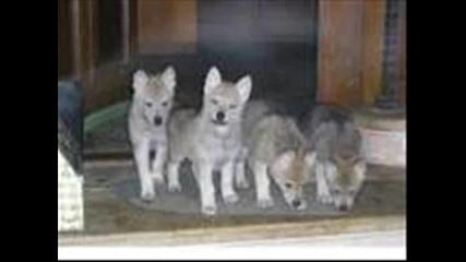 Вълк или куче