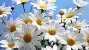 Beautiful daisies with sunny smiles Красиви маргаритки със слънчеви усмивки