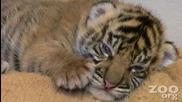 Много сладко Бебе Тигър