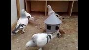 Турски Гълъби Мардин