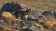 Малки Арктически лисици се учат да оцеляват..