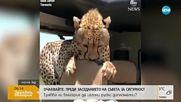 Гепард влезе в кола, докато в нея имаше хора