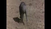 Смях Пияни Животни в Африка