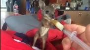 Много сладко кенгурче