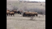 Българската ферма за бизони !!! :)