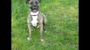 My Dog Pit Bull Zebo !!!