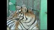 Манджурска тигрица осинови пет бели тигърчета