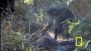 Шимпанзета скърбят за мъртвият си събрат